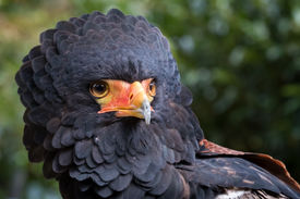 pic of eagles  - close up of a bateleur eagle - JPG