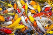 picture of koi fish  - Koi Fish swimming beautiful color variations natural organic - JPG
