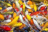foto of koi fish  - Koi Fish swimming beautiful color variations natural organic - JPG