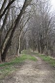 stock photo of row trees  - Rows of trees and trail through the trees - JPG