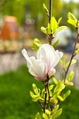 pic of magnolia  - Beautiful pink Magnolia flowers on blurred background - JPG
