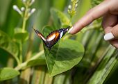 picture of tame  - tame butterfly allowed to touch it - JPG