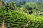 image of cameron highland  - Tea plantation in the mountains of Cameron Highlands Malaysia - JPG