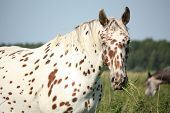 stock photo of breed horse  - Portrait of knabstrupper breed horse  - JPG