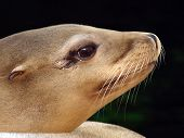 picture of sea lion  - Close up of sea lion with a green background - JPG