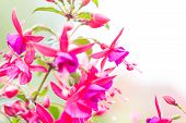 pic of salvia  - Flowers of fuchsia or Onagraceae Salvia Splendens Scarlet Sage. ** Note: Shallow depth of field - JPG