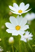 stock photo of cosmos flowers  - Close up of white Cosmea  - JPG