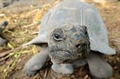 picture of tortoise  - An Aldabra giant tortoise scientifically known as Aldabrachelys gigantea is one of the largest tortoises in the world - JPG