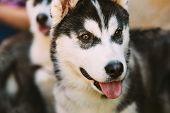 image of eskimos  - Close Up Young Happy Husky Puppy Eskimo Dog Face - JPG