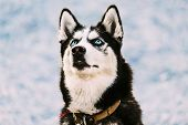 picture of eskimos  - Close Up Young Happy Husky Puppy Eskimo Dog Looking Up Outdoor In Winter - JPG