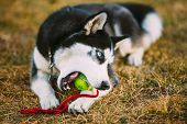 picture of toy dogs  - Young Dog Husky Puppy Plays With Her Toy  - JPG