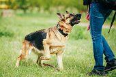 image of shepherds  - Training Shepherd Brown German Shepherd On Grass Outdoor In Summer Day - JPG