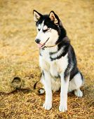 stock photo of dry grass  - Young Happy Husky Puppy Eskimo Dog Sitting In Dry Grass Outdoor In Autumn - JPG