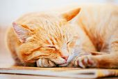 stock photo of laminate  - Peaceful Orange Red Tabby Cat Male Kitten Curled Up Sleeping In His Bed On Laminate Floor - JPG