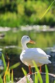 Pure White Duck On A Bright Summer Day