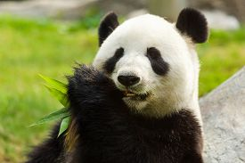 stock photo of panda  - Panda bear eating bamboo - JPG