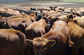 Alimentación literas en una granja en Saskatchewan