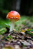 image of shroom  - A magic mushroom in the forest  - JPG
