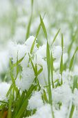 Close-up of green grass covered by snow