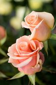 picture of rose bud  - Fresh beautiful floral background with roses - JPG