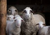 Sheep Flock In Barn poster