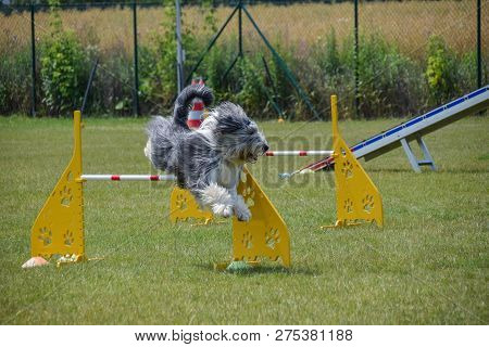 Bearded Collie Agility Intensive Training Dog