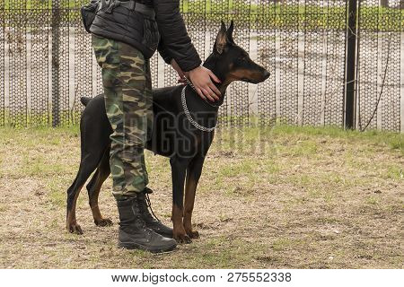 poster of Training Dog Doberman Girl In Military Clothes. The Dog On The Border Guard. The Border Guard With A