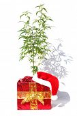 Female Cannabis Plant. Christmas Gift. Isolated on white. Room for text. Red Santa hat on a Red Gift poster