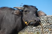 picture of carabao  - carabao a farm animal in the Philippines sometimes called water buffalo - JPG