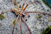 This Is A Male Giant House Spider Tegenaria Gigantea Now Called Eratigena Atrica. It Is Typical To S poster