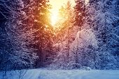 Winter Snow Forest Trees Sunset Background. Red Sunset In Winter Snow Forest Trees Scene. Winter Sun poster