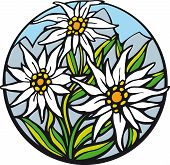 picture of edelweiss  - There are delicate edelweiss in the mountains - JPG