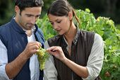Couple examining grape vine