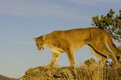 Cougar walks down a hillside in Montana
