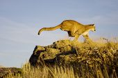 Mountain Lion Jumps up to a vantage point