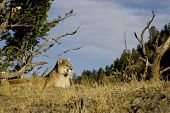 Cougar lays down on a hillside in Montana