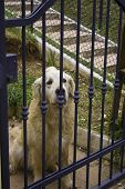Cream golden retriever on the gate