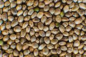 Close Up. Hemp Seeds Background In Macro. Macro Detail Of Marijuana Seed. Many Cannabis Seeds. Organ poster