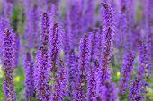 viele große purpurrote Blumen im Garten