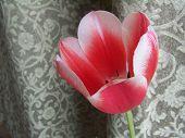 Close Pink Tulip