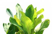 Tropical Leaf Fresh Green, Tropical Foliage Leaves Nature Isolated White Background For Decorations poster