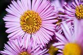 Lilac Chrysanthemums Macro. Gentle Fuchsia Garden Flowers. Springtime, Summer, Autumn. Blooming Flor poster