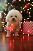 Christmas Dog. Bichon Frise Dog. Bichon Frise dog. Bichon Dog with Christmas lights. Isolated on bla poster
