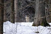 Beautiful Wolf (canis Lupus) In Winter, Wolf In Snowy Landscape, Attractive Winter Scene With Wolf,  poster