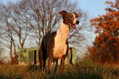 Beautiful Whippet Is Standing On A Field In The Front Of An Old Trailer In The Autumn Sunshine poster