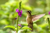 Speckled Hummingbird, Adelomyia Melanogenys Hovering Next To Violet Flower, Bird From Tropical Fores poster