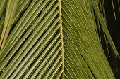 Close Up Of A Green Leaf Of Coconut Tree (cocos Nucifera ) With Sun Light And Selective Focusing poster