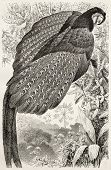 Great Argus Pheasant old illustration (Argusianus argus). Created by Kretschmer and Illner, publishe