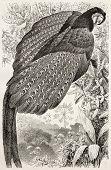 Great Argus Pheasant old illustration (Argusianus argus). Created by Kretschmer and Illner, published on Merveilles de la Nature, Bailliere et fils, Paris, ca. 1878