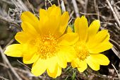 picture of adonis  - Flowers of Adonis vernalis yellow pheasant - JPG